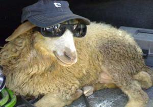4077264 109 وقتی جان گوسفند ارزشمندتر از جان انسان است! + فیلم