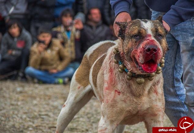 نبرد خونین سگها در زنجان متوقف شد + تصاویر