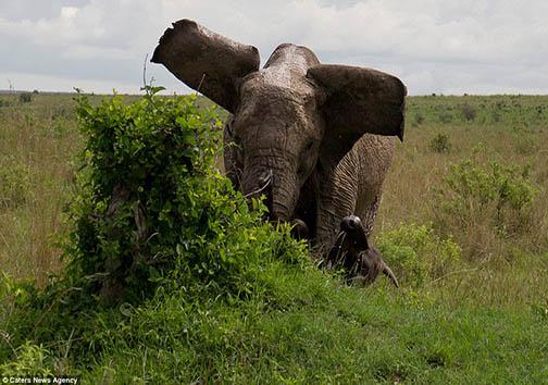 نبرد بوفالو و فیل + تصاویر