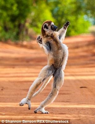 رقص زیبای این میمون شما را به وجد میآورد +تصاویر