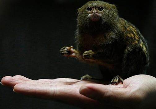 کوچکترین میمون جهان/ عکس