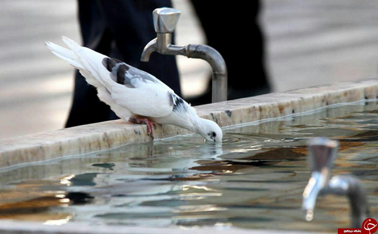 تصویری جالب ودیدنی ازیک کبوتر درحرم امام رضا(ع)