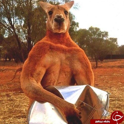وقتی گانگوروی استرالیایی  بدنسازی می کند+تصاویر