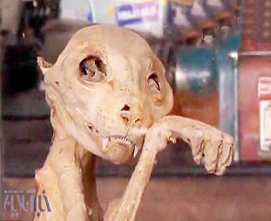 تصاویر کشف بقایای موجودی عجیب مومیایی شده در ترکیه/ جانور باستانی یا یک گربه معمولی ؟