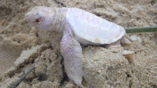 لاکپشت سفید رو +تصاویر