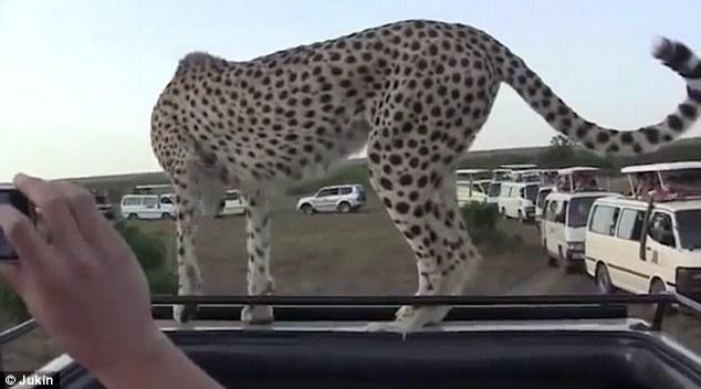لحظات وحشت آوری که چیتا روی وَن بدون سقف پرید و بین مسافران افتاد.