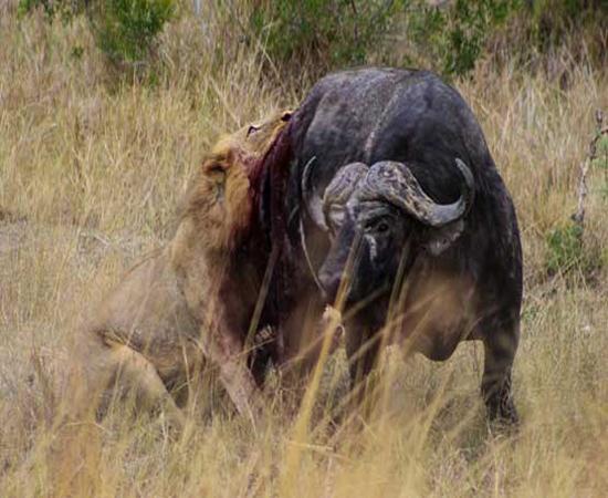 نبرد باور نکردنی گاومیش با دو شیرنر + عکس