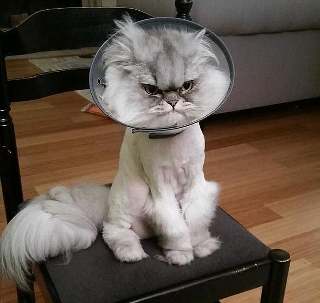 میلیونها لایک برای گربه عصبانی+تصاویر