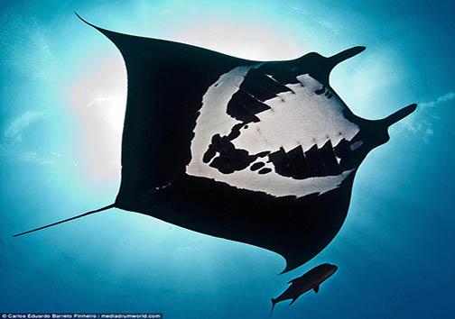 عکاسان موفق به ثبت تصاویری باورنکردنی از گونه ای آبزی دریایی شدند + تصاویر