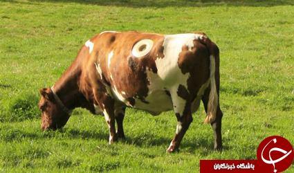 گاوهایی که روی بدن خود حفره دارند+تصاویر