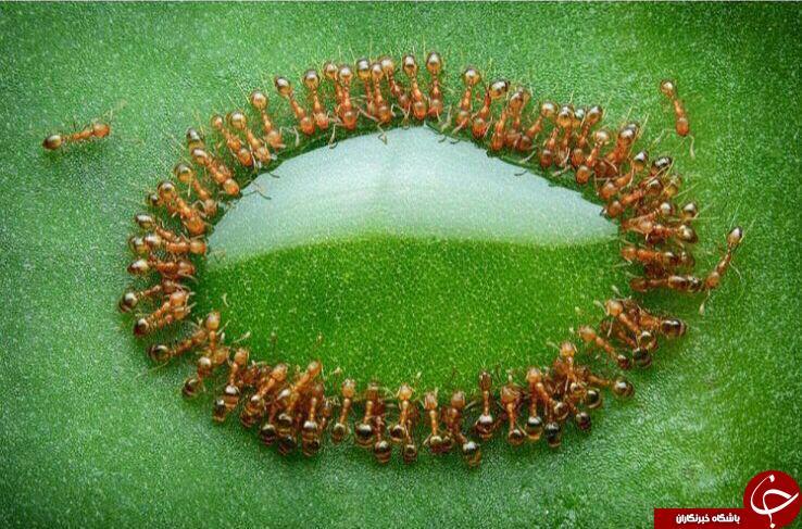 سلفی دسته جمعی مورچه ها با قطره عسل+ عکس