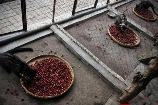 گران ترین قهوه جهان از مدفوع بدست می آید + عکس
