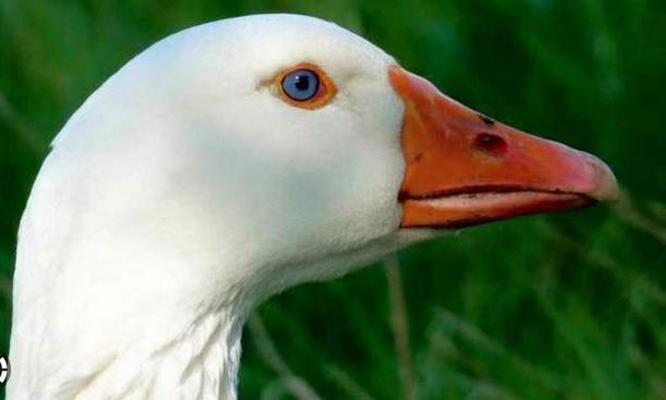 اردک مردهای که زنده شد+تصاویر