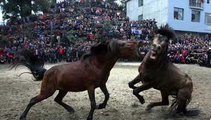 جشنواره کتک کاری اسب ها+تصاویر