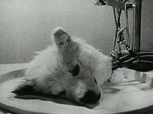 هولناکترین آزمایشات بشر؛ خلق موجود ترکیبی انسان و شامپانزه