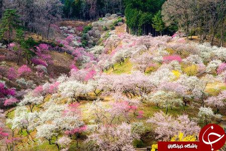 شکوفه های امپریال ژاپن+ 13 عکس