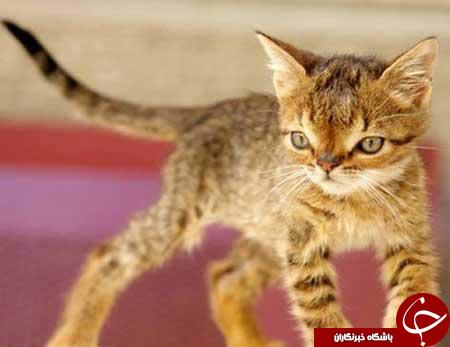 گربه ای که مونگل بود+تصاویر