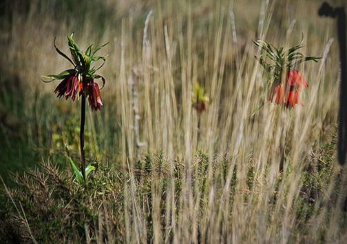 گل همیشه گریان +عکس