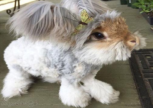 خرگوشی با گوشهایی شبیه بال!+عکس