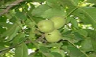 3211923 730 سرمای ناگهانی دسترنج یک ساله باغداران استان کرمانشاه را به باد داد.