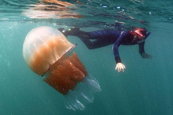 برخورد عروس دریایی غولپیکر با قایق تفریحی+تصاویر