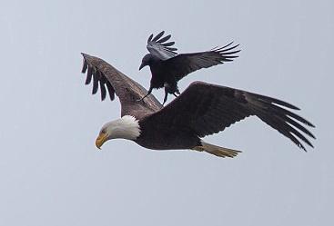 عقاب سواری یک کلاغ + عکس