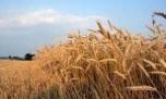 خرید خوشه های طلایی گندم با ثبت رکود بی سابقه در مازندران