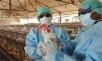 آنفلوآنزای مرغی در شهرستان دماوند مهار شد