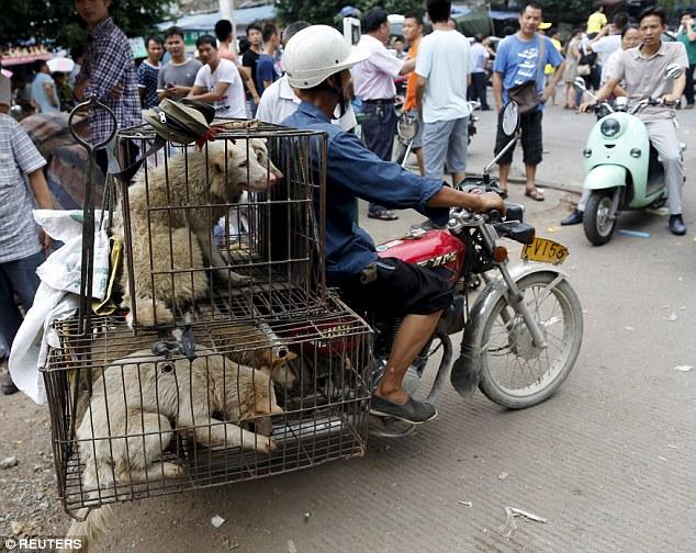 تصاویری تکاندهنده از مراسم سگ خوری در چین (13+)
