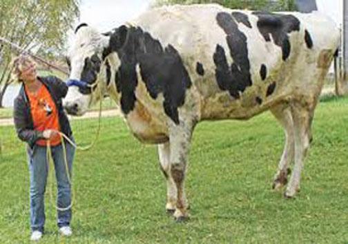 مرگ بلندترین گاو +عکس