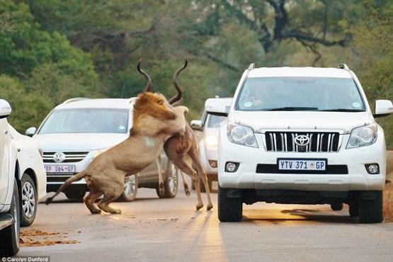 صحنه نادر شکار شیرها وسط جاده + تصاویر