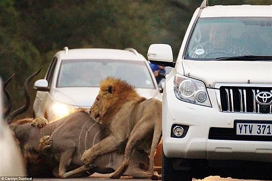 محسنی////////صحنه نادر شکار شیرها وسط جاده + تصاویر