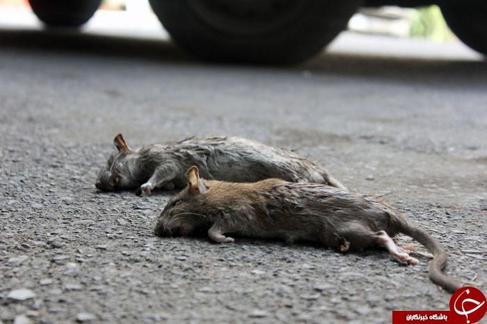 جولان موش های در خیابان های تهران
