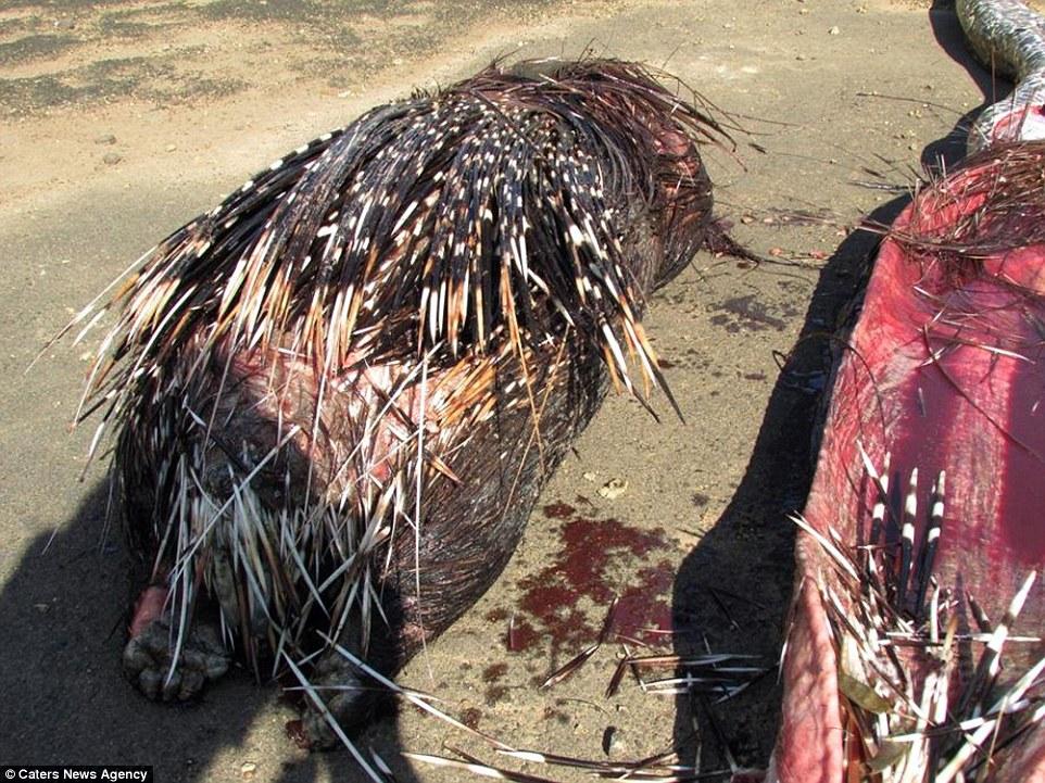 سرنوشت مار پیتون بعد از خوردن جوجه تیغی+تصاویر