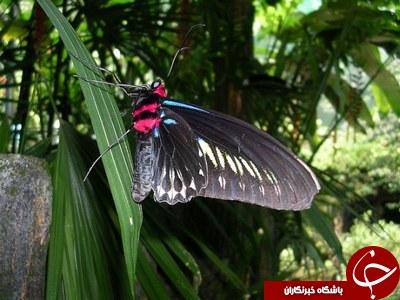 مزرعه پروانه  یکی از  جاذبه های مالزی + عکس /// در حال کار