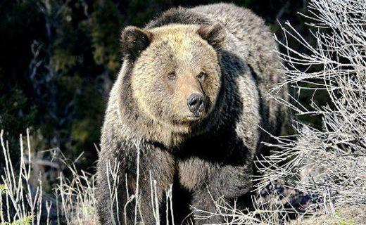 خرس گریزلی کوهنورد آمریکایی راخورد+تصاویر