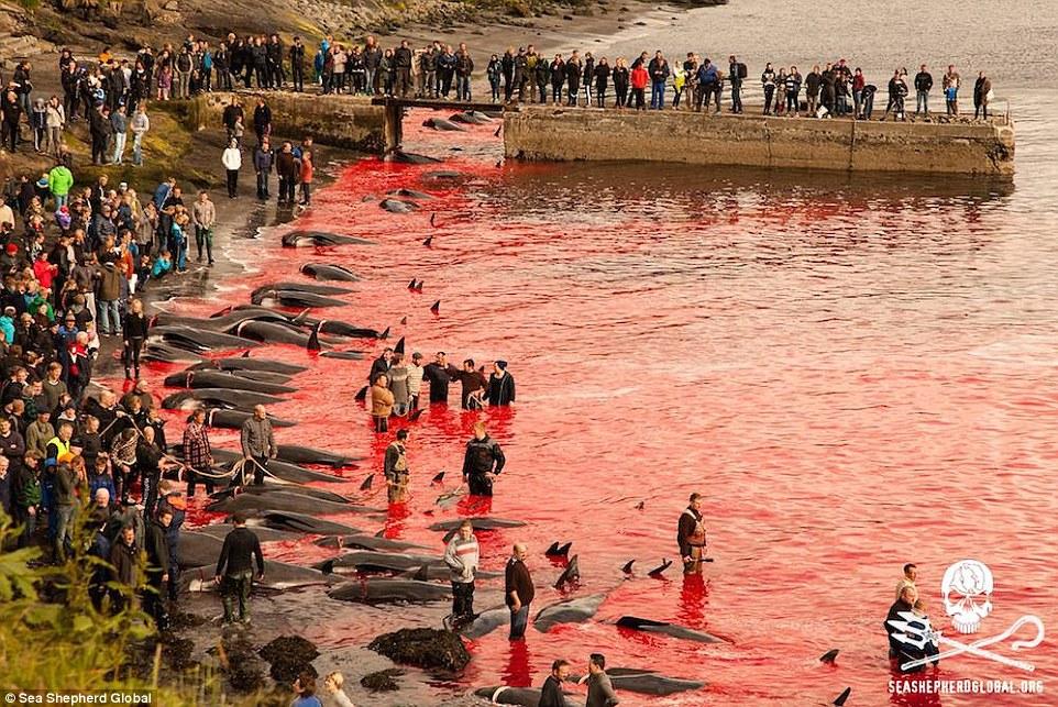 تصاویری هولناک از قتل عام خونین 250 نهنگ