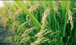 برداشت نوع جدید برنج کوهسار در آمل