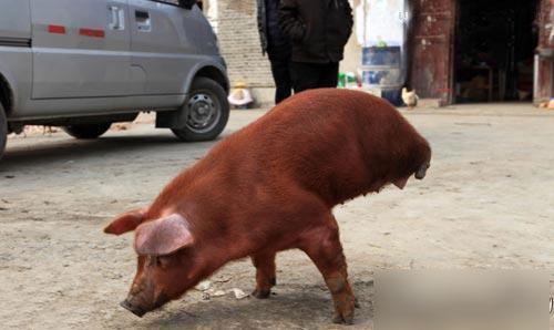 کشف یک خوک دو پا در چین + عکس