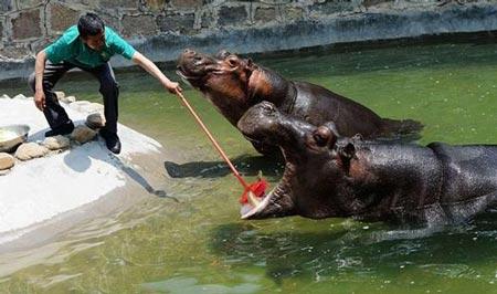 علاقه اسب آبی به مسواک زدن + عکس