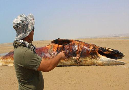 پیدا شدن نهنگ ۱۳ متری در سواحل بوشهر + تصاویر