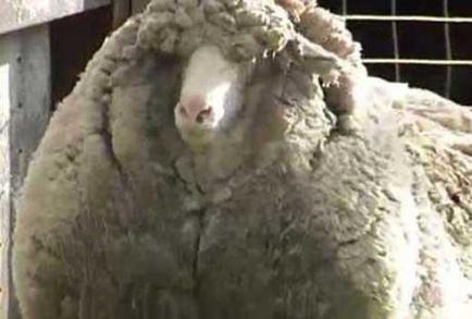 راز گوسفندهای پولساز + عکس