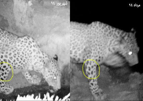یک پلنگ ایرانی در مقابل لنز دوربین + تصاویر