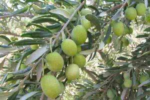 برداشت بیش از 150 تن زیتون از باغات مغان