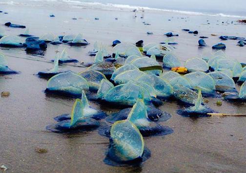 موجودات دریایی عجیب در ساحل کالیفرنیا +تصاویر