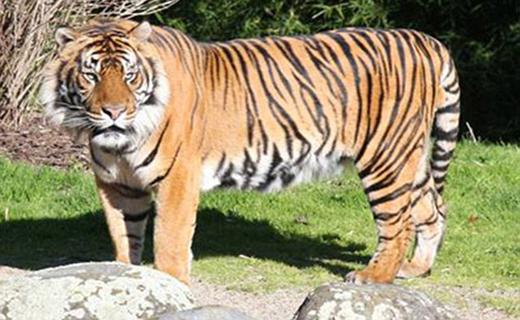 حمله مرگبار ببر باغ وحش به نگهبان+ تصاویر