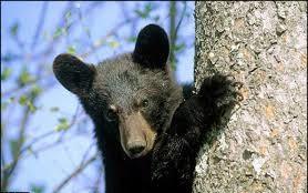 خرس سیاه سیستان و بلوچستان به قلاده ماهوارهای مجهز میشود