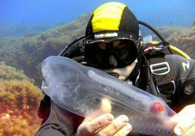 ماهی عجیب حیوانات عجیب دنیا Salpa maggiore