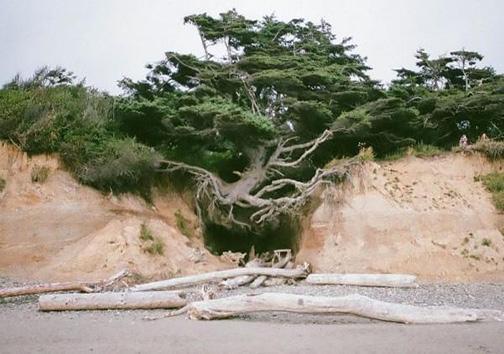 درختی که بین زمین و هوا زندگی میکند! + تصاویر
