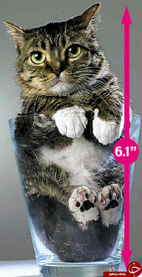 کوچکترین گربه دنیا